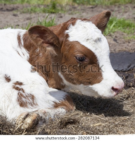 head of red and white calf which lies in grass - stock photo