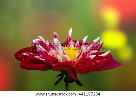 Head of red and white flower with wet petals with beautiful multicolor bokeh - stock photo