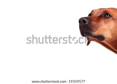 head of rhodesian ridgeback over white background, plenty of copy space - stock photo