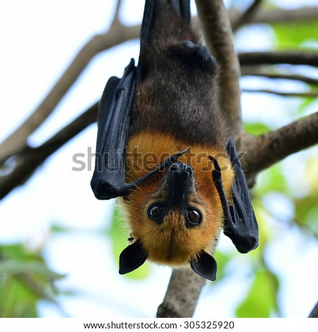 Head of scary hanging flying fox or tropical bat - stock photo