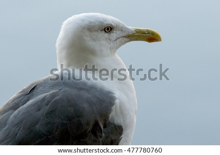 Head of seagull