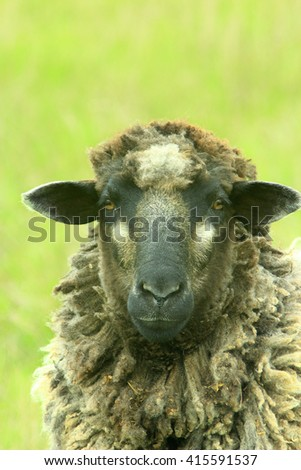 head of sheep grazing on the pasture