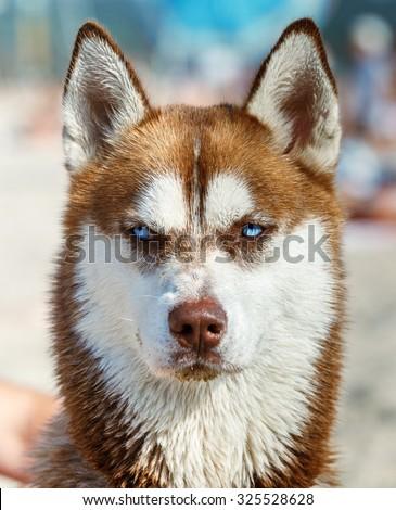 Head of Siberian Red Husky with blue eye  - stock photo