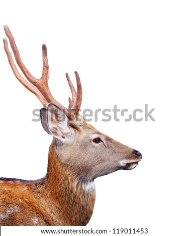 Head of Sika deer (Cervus nippon)  over white background