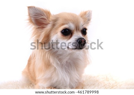 head of sweet chihuahua isolated on the white background