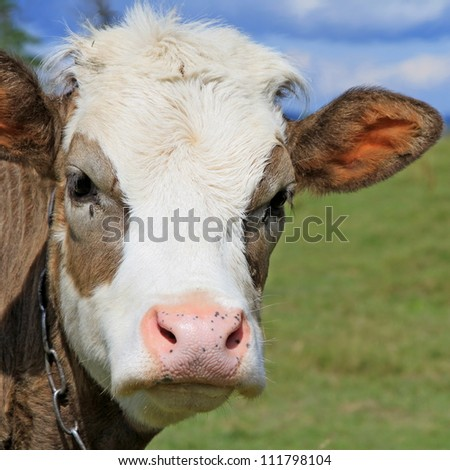 Head of the calf against a pasture