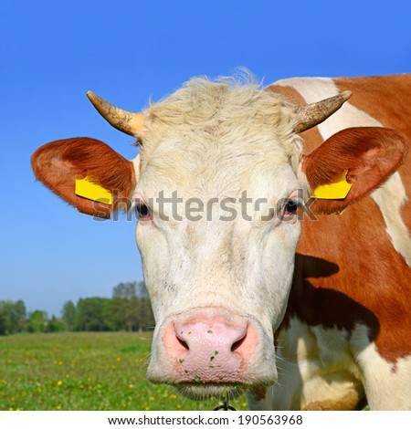 Head of the calf against a pasture.