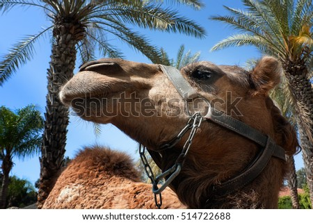 Head of the camel having a rest in an oasis