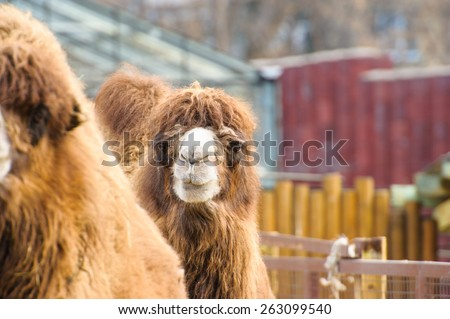 Head of the camel with open mouse and eyes - stock photo