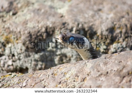 Head of the grass snake in a crevice between the stones - stock photo