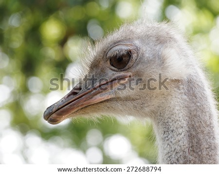 head of the ostrich close-up - stock photo