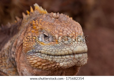 Head of the yellow land iguana (endemic to the Galapagos islands), Ecuador - stock photo