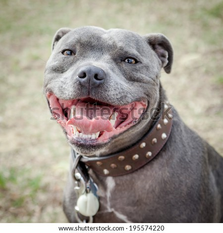 Head of very happy blue or grey Staffordshire Bull Terrier or Staffie in leather studded collar  with mouth open in a smile and looking at the camera - stock photo