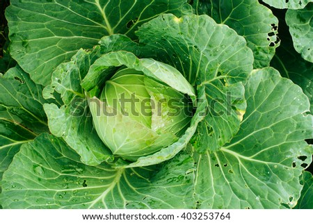 Head of young cabbage at the farm