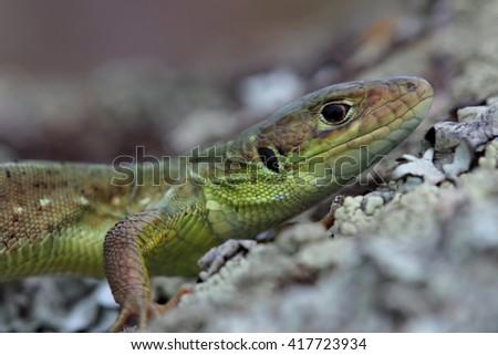 Head of young European green lizard. Closeup - stock photo