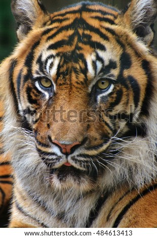 Head-on portrait shot of a tiger (Panthera tigris)