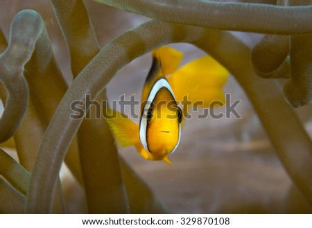 Head on view of a cute sub-adult Clark's Anemonefish (Amphiprion clarkii) tropical fish lying on healthy coral on an anemone on a coral reef in the Musandam area of Oman - stock photo