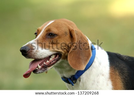 Head photo of Harrier dog in park with tongue out - stock photo