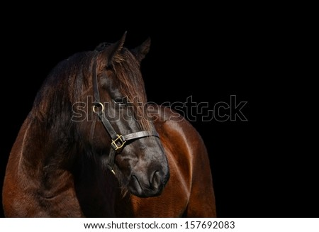 Head portrait of a beautiful Friesian horse with attentive facial expression looking to the side. Image on black studio background.