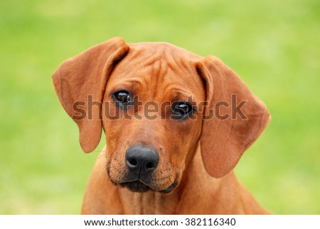 Head portrait of a beautiful purebred Rhodesian Ridgeback puppy with cute facial expression in front of green blurry background.