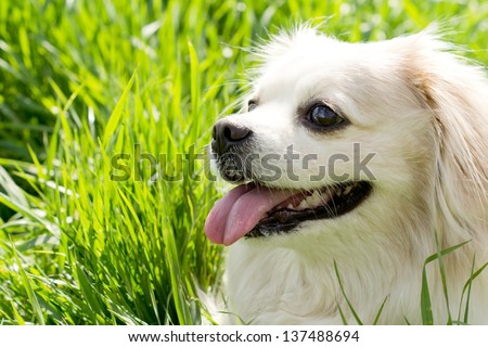 Head portrait of a cute little long haired toy breed dog with a golden coat and alert expression panting happily in the sunshine - stock photo