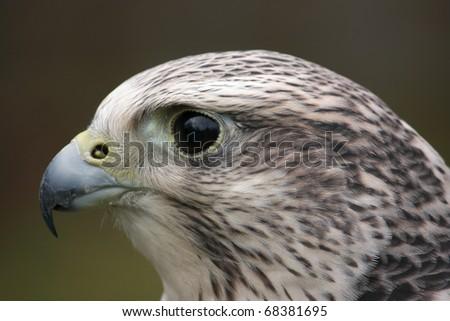 Head portrait of a falcon - stock photo