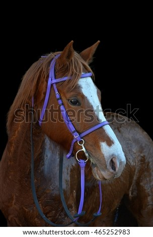 Head portrait of a wet chestnut horse with attentive facial expression. Image isolated on black studio background.