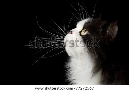 head portrait of cat on black background - stock photo