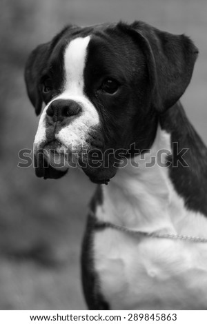 Head profile of boxer dog puppy in black and white