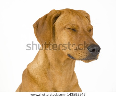 Head shoot of a beautiful and sad dog isolated on white. The female Rhodesian ridgeback hound is 5 month old. The dog has its eyes closed. - stock photo