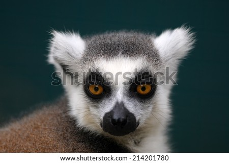 Head Shoot Ring-tailed lemur (Lemur catta) in a zoo - stock photo