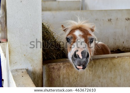 Head shot and Closeup of a brown and white stripes pony horse in the indoor corral. and she's looking at the camera with sadly.Poor brown and white stripes pony horse.