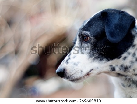 head shot close up of a black and white dalmatian dog no purebred outdoor under direct natural sunlight in summer with home surrounding background - stock photo