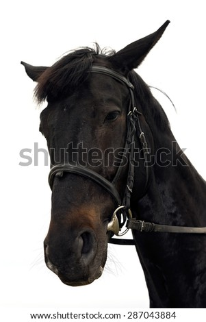 Head shot of a beautiful dark horse