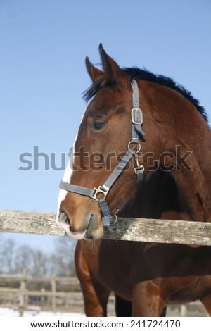 Head shot of a beautiful thoroughbred horse in winter corral rural scene as a background - stock photo