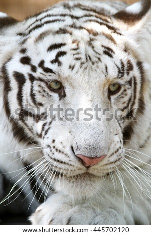 Head shot of a bengal white tiger - stock photo