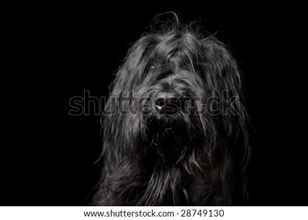 Head shot of a black Briard