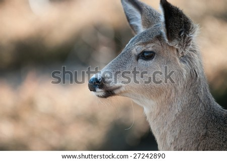 Head-shot of a female white-tailed deer (Odocoileus virginianus) taken in Ottawa, Canada, in early spring. - stock photo