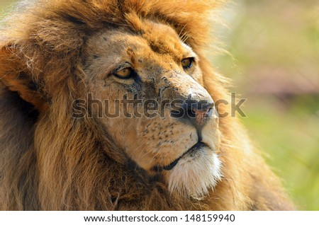 Head shot of a Lion (Panthera leo) relaxing in the heat - stock photo