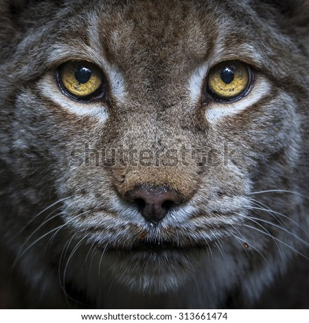 Head shot of a lynx looking straight in the camera - stock photo