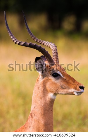 Head shot of a male impala with horns - stock photo