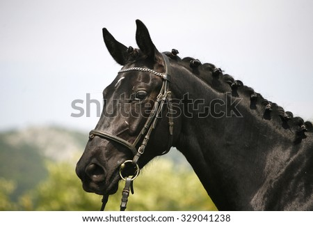 Head shot of a purebred black colored young horse - stock photo