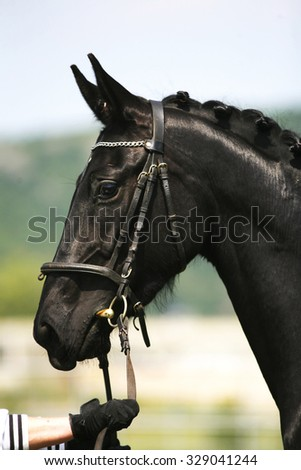 Head shot of a purebred black colored young horse with breeder - stock photo