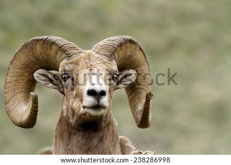 Head shot of a ram - stock photo
