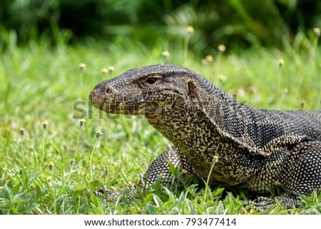 Head shot of a water monitor