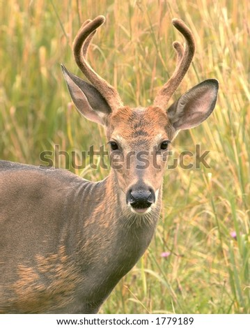 Head-shot of a whitetail buck.