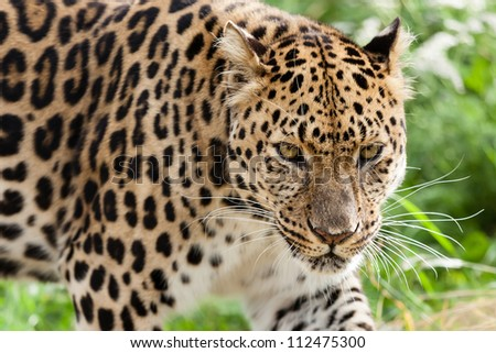 Head Shot of Amur Leopard Stalking Forwards Panthera Pardus Orientalis - stock photo