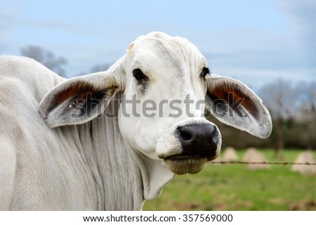 Head shot of an American Brahman cow in Texas. The first cattle breed developed in America in early twentieth century - stock photo