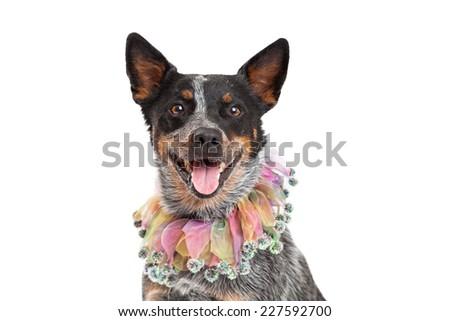Head shot of an Australian Cattle Dog wearing a beautiful multicolored jester's collar.  - stock photo