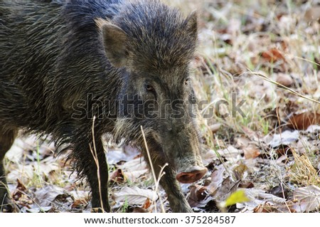 Head shot of an Indian wild boar
